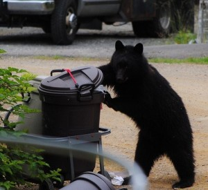One of the many bears to have figured out the nuances of the bungee cord. (Photo by Rita Leighton, shared via KRBD)