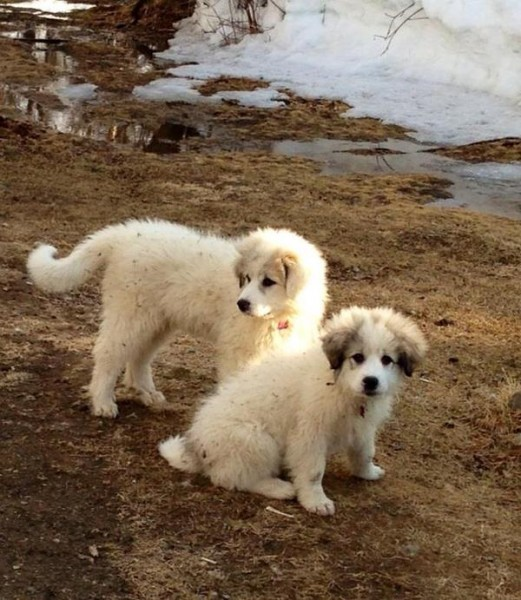 Ivy and Hazel as puppies. Photo shared via KDLG.org.