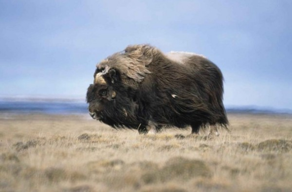 A bull musk ox. Photo: Tim Bowman, U.S. Fish and Wildlife Service.