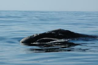 A right whale in the southeastern Bering Sea in 2005. Photo: Brenda Rone/NOAA Fisheries.