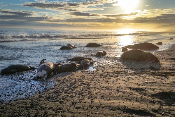 2015-09-18-walrus-deaths-001-2432px