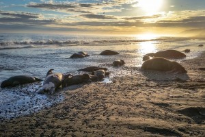 25 walrus found dead, some decapitated off Cape Lisburne