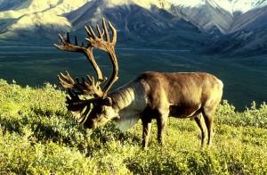 640px-Caribou