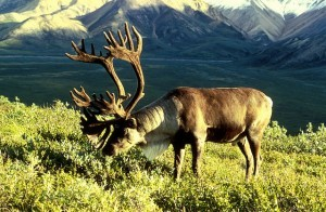 Caribou Hunting & Science