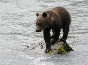 A bear cub on the Chilkoot River in 2010. (Ray Morris/Flickr Creative Commons)