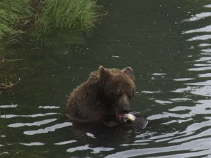 A brown bear sow fishes in the McNeil River sanctuary. Photo: Lora Jorgensen