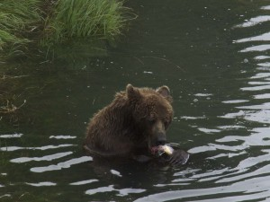 Viewing coastal brown bears