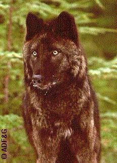 Alexander Archipelago wolf (Canis lupus ligoni) in the Tongass National Forest of southeast Alaska. ADFG photo.