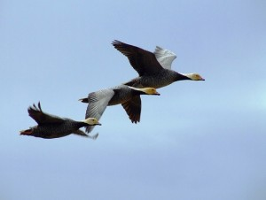 Emporer geese at the Yukon Delta National Wildlife Refuge. Photo by U.S. Fish and Wildlife Service Headquarters/Flickr