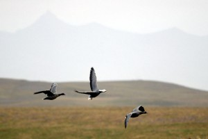 Emperor geese at Izembek National Wildlife Refuge. (Photo via FWS)