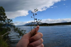 Shepherd's purse (Capsella bursa-pastoris) often grows on lake shores in Katmai. Its heart-shaped seed pods are a distinguishing characteristic. (NPS photo)