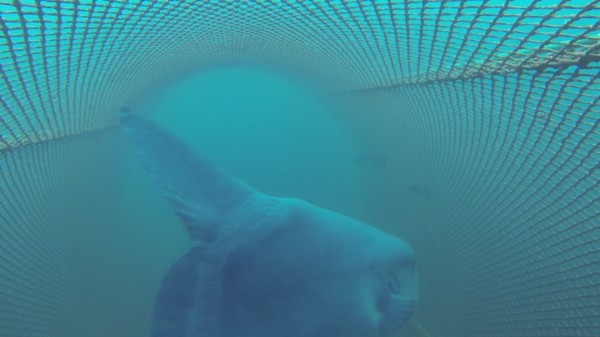 An ocean sunfish is captured in research trawl in July 2015. (Image courtesy of National Oceanic and Atmospheric Administration)