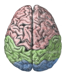 """Cerebral lobes"" by derivative work of this - Gutenberg Encyclopedia. Licensed under CC BY-SA 3.0 via Wikimedia Commons"
