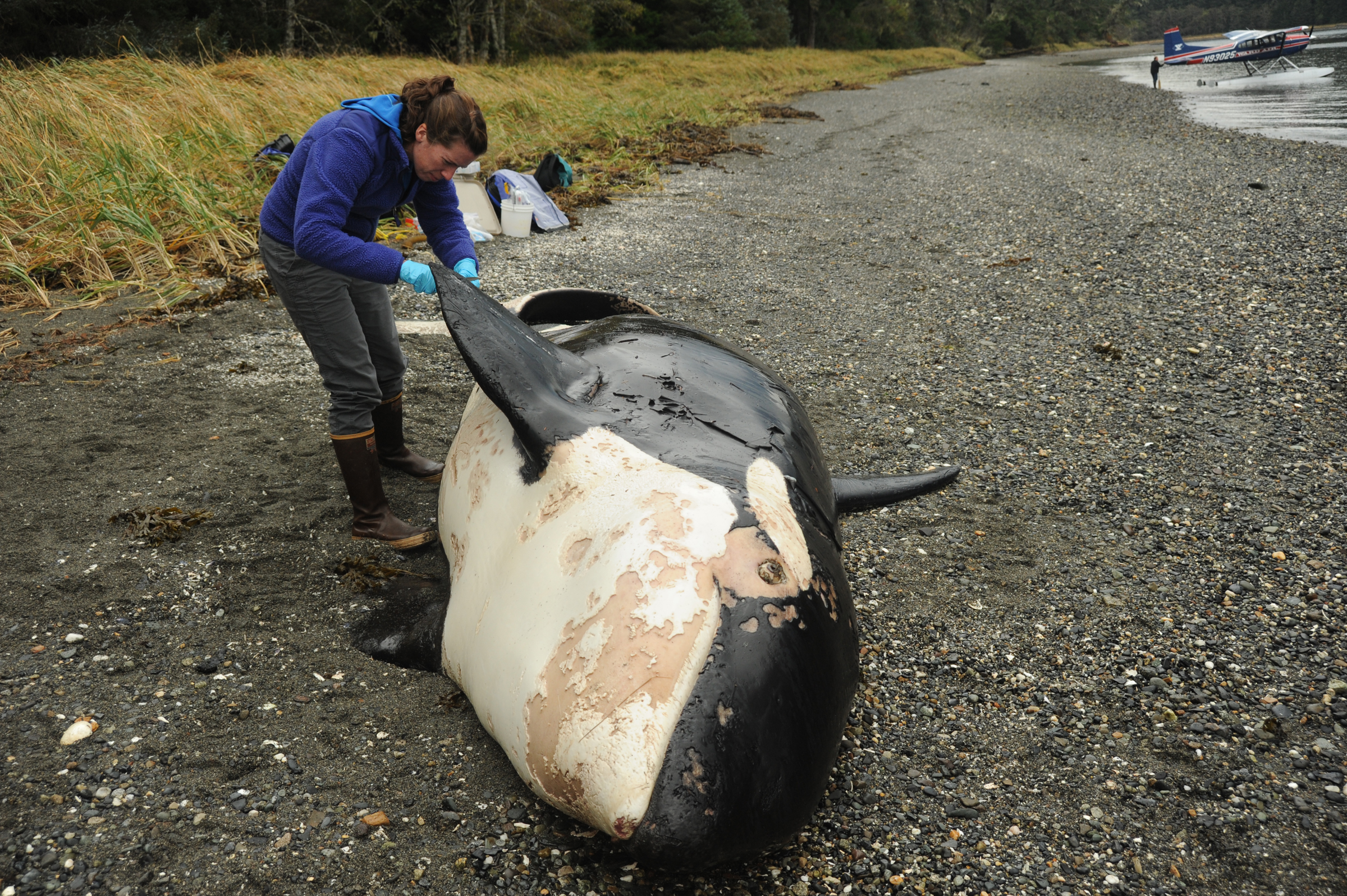 Scientists id dead killer whale found in southeast for Youth fishing tournaments near me