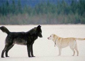 Romeo often played with Dakotah, Nick Jans' yellow lab. (Photo courtesy Nick Jans)