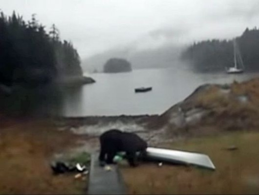 Still from Mary Maley's video of a black bear in Berg Bay eating her kayak.