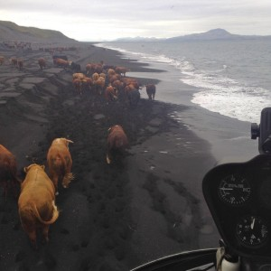 Chopper-cowboys herd hundreds of remote cattle in Aleutians