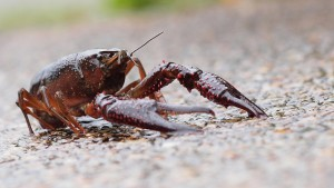 Crayfish. Photo by coniferconifer / flickr