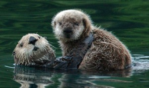 Sea Otters. (U.S. Fish & Wildlife photo)