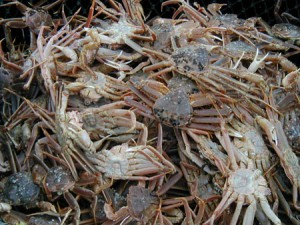 Snow crab. (KUCB file photo)