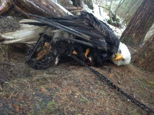 Kathleen Turley encountered this eagle stuck in two traps Dec. 24, 2014. She freed the eagle and tampered with other legally set traps in the area. (Photo courtesy Kathleen Turley)