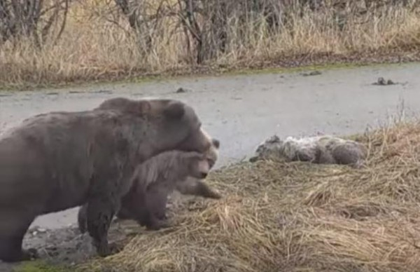 The mother bear, 451, returns with her healthy cub to where her female cub (right) lay dying or dead. CREDIT EXPLORE.ORG