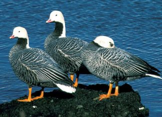 Emperor geese at Adak Island. (US Fish & Wildlife photo)