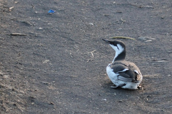 A murre too weak to fly near the head of Kalsin Bay. Photo: Robin Corcoran/USFWS.