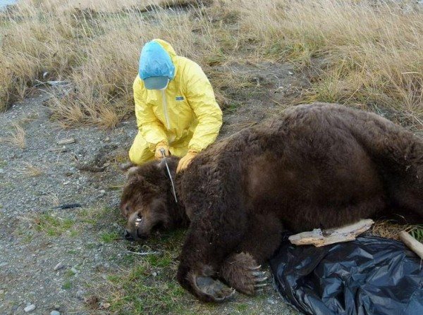 Wildlife technicians collected samples from the adult male's remains, including the head and some internal organs, to send to a state veterinarian for testing. CREDIT NPS
