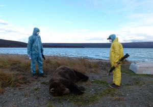 Katmai wildlife technicians prepare to conduct a field autopsy on an adult male that died of unknown causes in late October. (Photo courtesy of the National Park Service)
