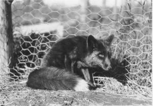 The silver black fox was the money crop for Kasilof fox farmers, as black fox fur was all the rage among high society in the early 1900s. (Photo by Merle LaVoy, courtesy of the Kasilof Historical Association.)