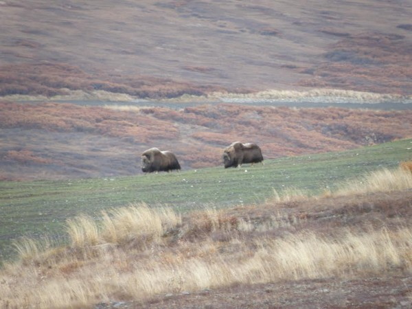 Muskoxen graze on reclaimed mine land. Photo courtesy Bering Straits Native Corporation.