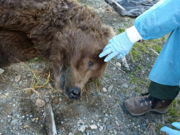 Rangres perform a field necropsy; other, more graphic photos document rangers cutting into the bear's neck and abdominal area. PHOTO: NPS