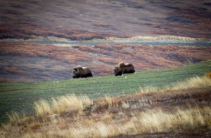 Muskox grazing on the reclaimed land of Rock Creek Mine. (Photo via Bering Straits Native Corporation)