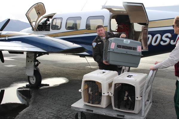 Eleven homeless pups landed in Sitka on Thursday (11-5-13). The dogs, recovered from Ketchikan, will be ready to adopt shortly. (Brielle Schaeffer/KCAW photo)