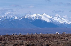Shrinking caribou herd may no longer be state's biggest