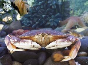 Southeast Dungeness crab harvest below average