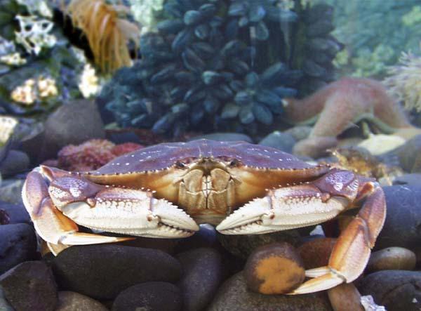 Dungeness crab. (NOAA photo)