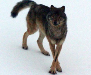 An Alexander Archipelago wolf. Photo courtesy of ADF&G
