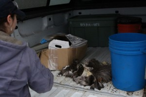 Bauscher loads a deer carcass, picked clean by birds, into the back of her truck. (Emily Kwong/KCAW photo)