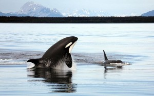 Orcas. Photo: Christopher Michel via Flickr Creative Commons.
