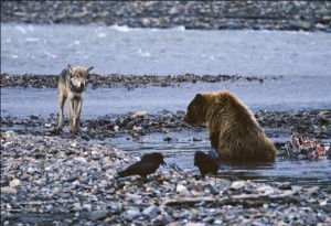 FWS proposes tighter rules on predator hunting in refuges