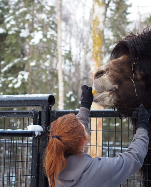 Angelica Evans feeds fruit to a male Bactrian camel. Photo: Zachariah Hughes, APM.