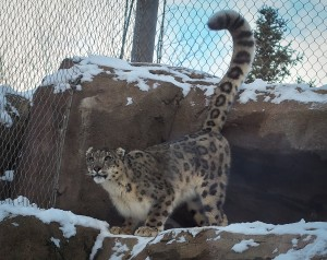 Nakai is the only snow leopard at the zoo. Lescher says they hope to get him a companion, but the wait-list for endangered snow leopards makes that unlikely within the next year. Photo: Zachariah Hughes.