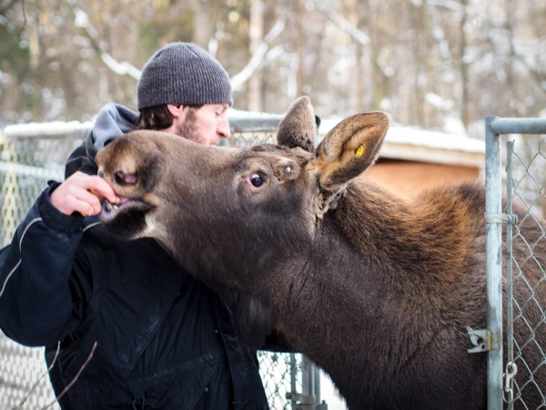 Zookeeper Timothy Lescher feeds a frozen banana to Uncle Fudge, a one-year-old moose he's helped raise. Photo: Zachariah Hughes, APM.