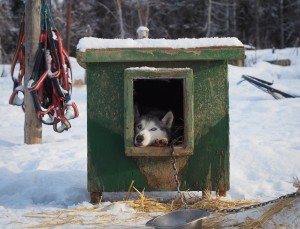 Alaskan Kennel's Siberian Huskies are versetile enough athletes to run in short sprint races, as well as long-distance endurance races. Photo: Zachariah Hughes, Alaska Public Media.