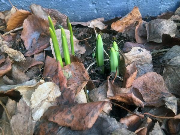 Daffodils in February. (Photo by Lori Townsend/APRN)