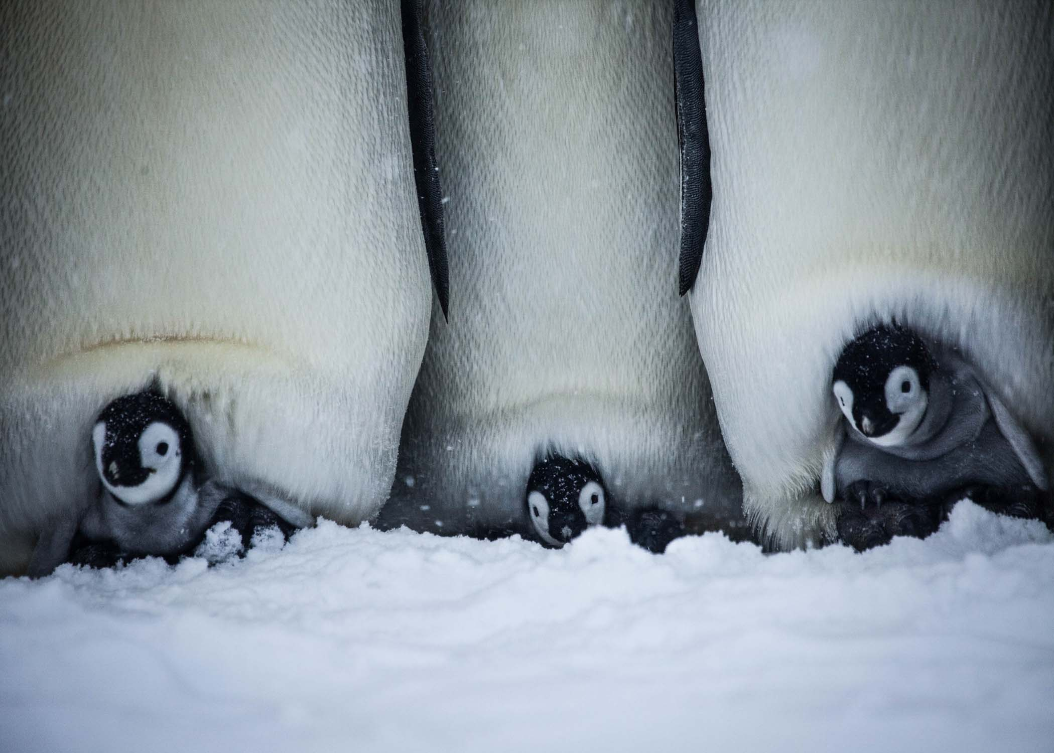 Three chicks on their parent's feet. (Photog Courtesy of Frederique Olivier/© John Downer Productions)