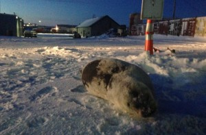 A bearded seal was stranded in a Nome parking lot in December. (Photo: Emily Russell, KNOM)