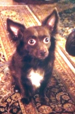 Coco was a small, long-haired Chihuahua mix. (Photo courtesy of Gordon Garlock)
